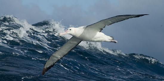 albatros-hurleur-plus-gros-oiseau.jpg