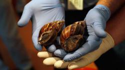 escargots-geants-envahissent-miami-en-floride-10642255keego-1713.jpg