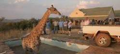 giraffe-girafe-stuck-coince-wild-at-heart-animal-sauve-heros.jpg